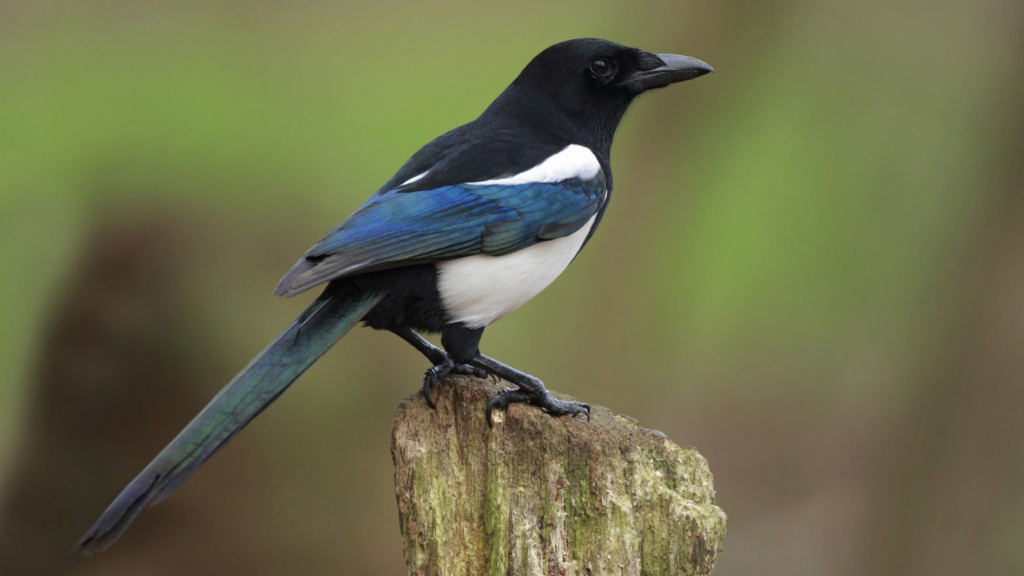 The Magpie is a symbol for luck and prosperity in Korean culture.
