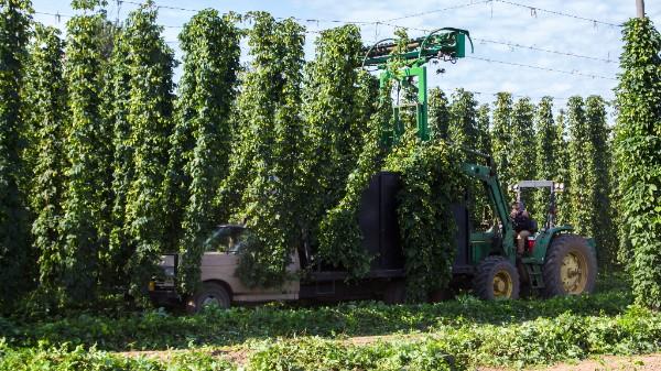 Let the Hop Harvest Begin!