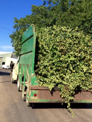 Rogue Farms hops have a short journey from field to kiln.